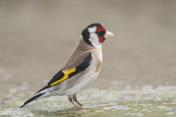 Goldfinch Carduelis series 01