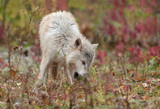 Blonde Wolf (Canis lupus) Sniffs in the Grass poster