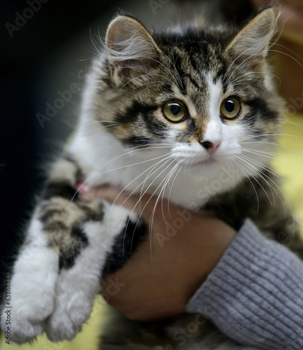 Beautiful Norwegian Forest Cat Being Held By Owner