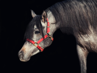 portrait of young arabian filly isolated at black