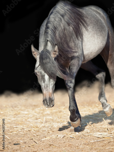 running young arabian filly isolated  at black