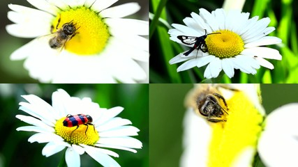 Insect on a Daisy(Camomile), Multiscreen Composition.