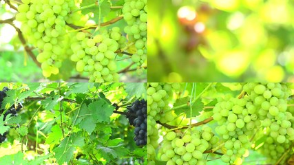 Vineyard. Motorized Dolly Shot., Multiscreen Composition.
