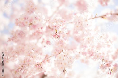 Obraz na płótnie 桜 春