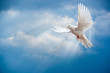 Leinwanddruck Bild - Dove in the air with wings wide open