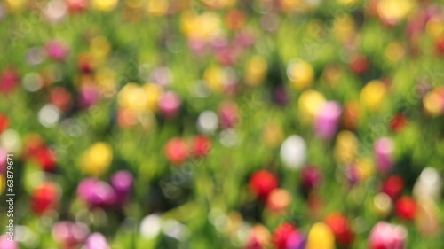 Colorful Tulips Out of Focus Bokeh Background in a Spring
