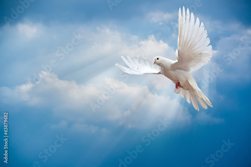 Poster Dove in the air with wings wide open