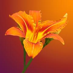orange daylily flower on a blurred background