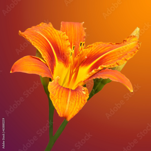 orange daylily flower on a blurred background