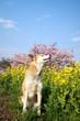 万階の桜と菜の花の匂いを嗅ぐ犬