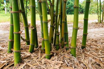 bamboo clump in garden