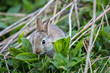Wild rabbit, Scotland
