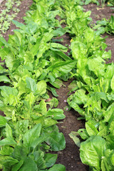 Zwei Reihen Spinat