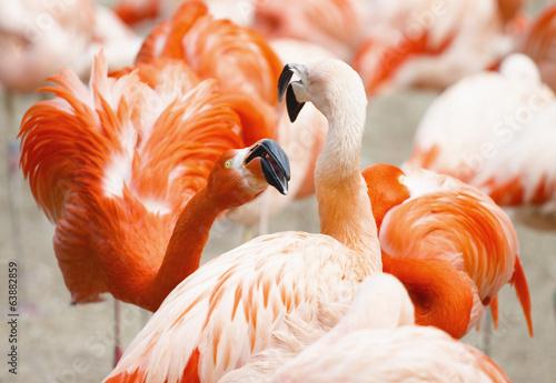 Fotobehang Flamingo Flamingos Fight Photo