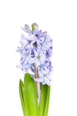Beautiful brightly-blue hyacinths isolated on a white background