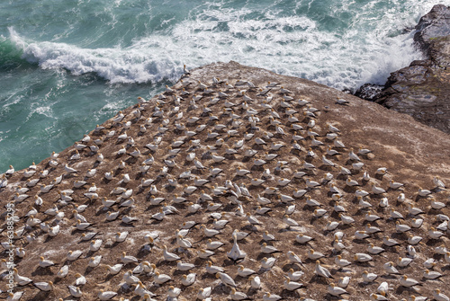 The Gannet colony in Muriwai Beach