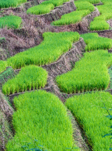 Landscape of the lined Green terraced rice  field