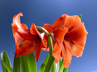 The blooming Amaryllis - Gladness and beauty