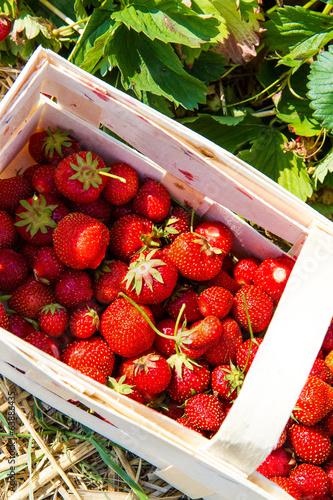 Raccolto di fragole