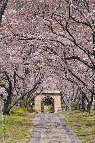 Wall mural 桜のアーチ