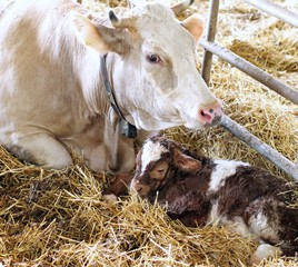 newborn calf in the straw with her mom