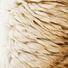 sheep fur texture background closeup macro shot