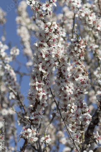 branches filled with almond blossoms
