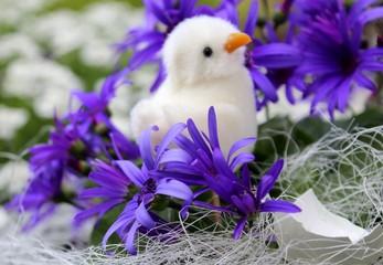 aschenblume und kücken