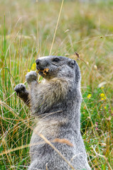 marmotta mentre mangia nei  prati sulle alpi in Italia