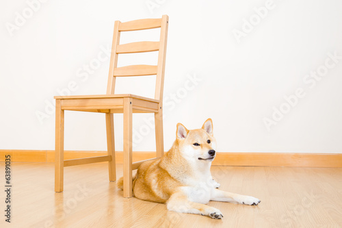 Brown shiba at home
