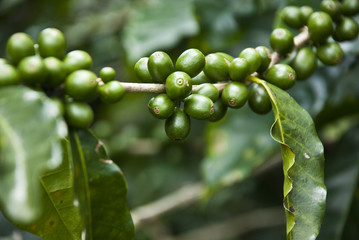 Nature's Garden - Unripe Coffee Berries
