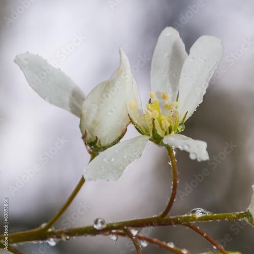 Amelanchier Blossom © bigemrg