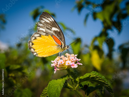 Butterfly feeding on lantana flower