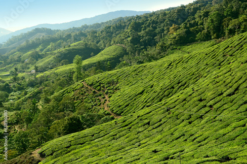 Tea plantation taken in Cameron Highlands Malaysia