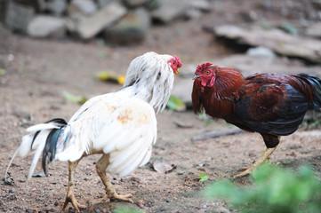 cockfights in the village on Ceylon