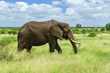 African elephant in savannah, Kruger national park, South Africa
