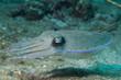 Leinwandbild Motiv Squid cuttlefish underwater