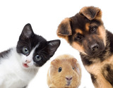Puppy and kitten and guinea pig - 63897805