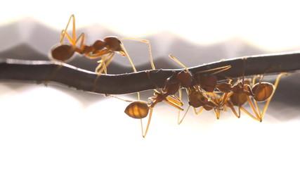 Red weaver ant working, walking, Macro mode.