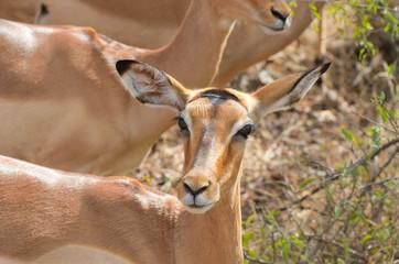 Impala antelope in Kruger National Park, South Africa