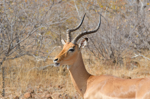 Impala antelope in Kruger National Park, South Africa