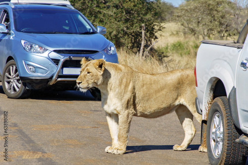 Lioness on road in Kruger national park, South Africa