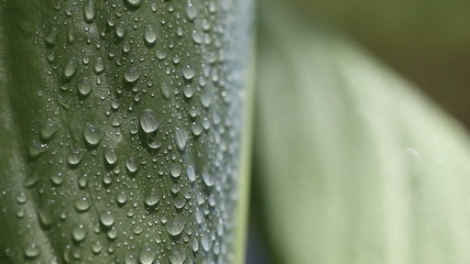 closeup of canna leaf