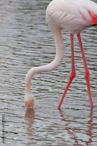 Poster Flamingo fenicottero rosa uccello acquatico