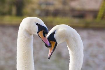 Pair of swans in Bruges, Belgium,