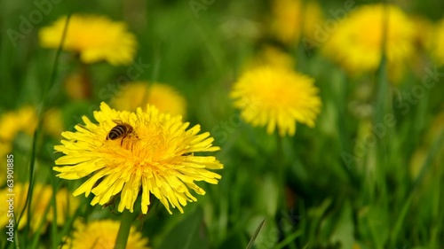 Bee collects pollen on a dandelion
