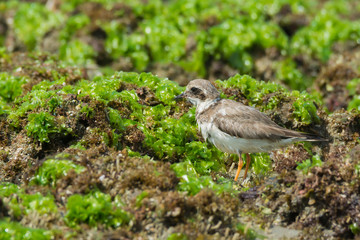 Ringed Plover standing on seaweed covered rocks at low tide
