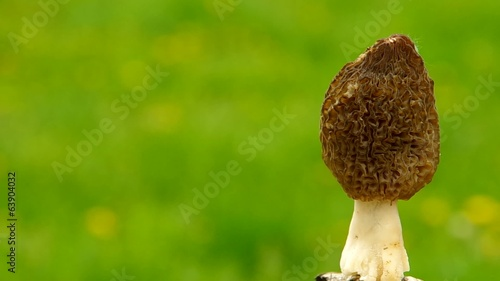 Morchella mushroom on green background