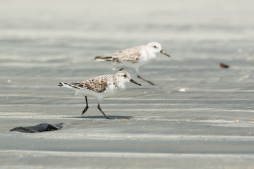 Two Sanderling running along the beach