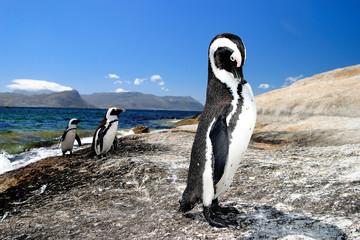 pinguino uccello marino sudafrica città del capo